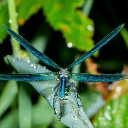 Weidebeekjuffer_-_Calopteryx_splendens