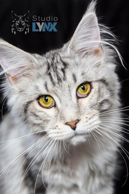 I see you - Die blik, dit Coontje betoverd me. Die gouden ogen omlijst voor haar zilverachtige pels houden me in bekoring.