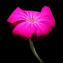 Rose Prikneus