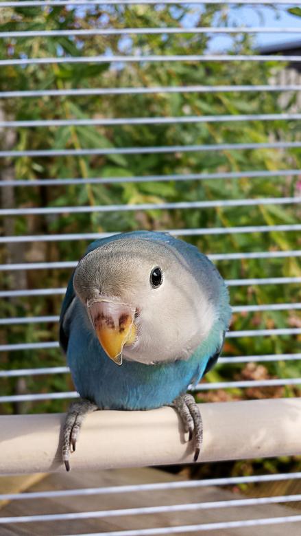 Blue - Onze Agapornis Blue buiten in de tuin in zijn hokje.. zijn druk bezig hem tam te maken.<br /> Genomen met de mobiele telefoon.