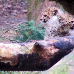 cheeta welpjes