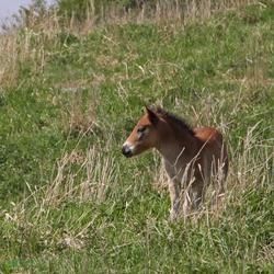 exmoor pony hengstveulen