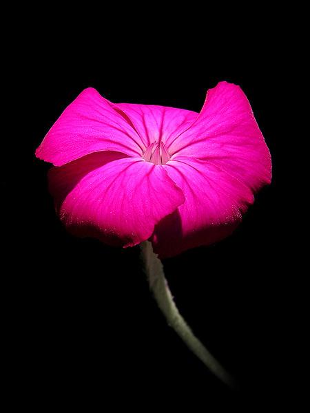 Rose Prikneus - De bloem is fel belicht en de achtergrond is een zwart T-shirt. Door de felle belichting heeft m'n cam automatisch meer moeten on
