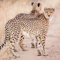 zuid africa cheetahs