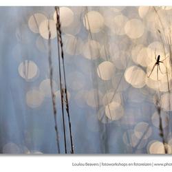 blingbling spider