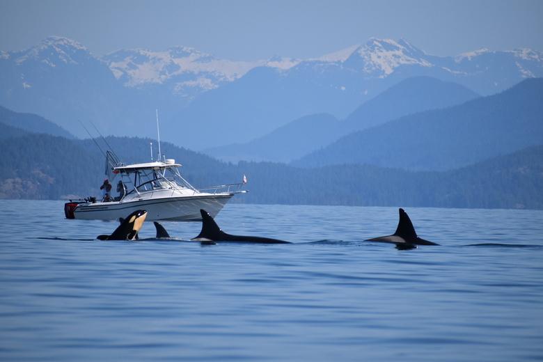 Orka's - Groep orka's met hun jong bij Campbell River