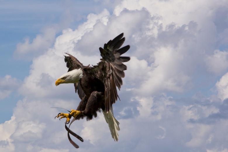 Eagle - Adelaar in de landing voor lunch