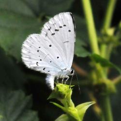 boomblauwtje Celastrina argiolus