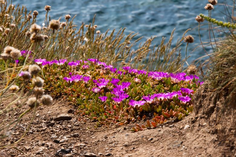 Engels vetplantje (2) - Nog een prachtig en fleurig vetplantje. Deze heb ik genomen bij Lizard Point.<br /> Daarvoor moest ik niet alleen plat op de