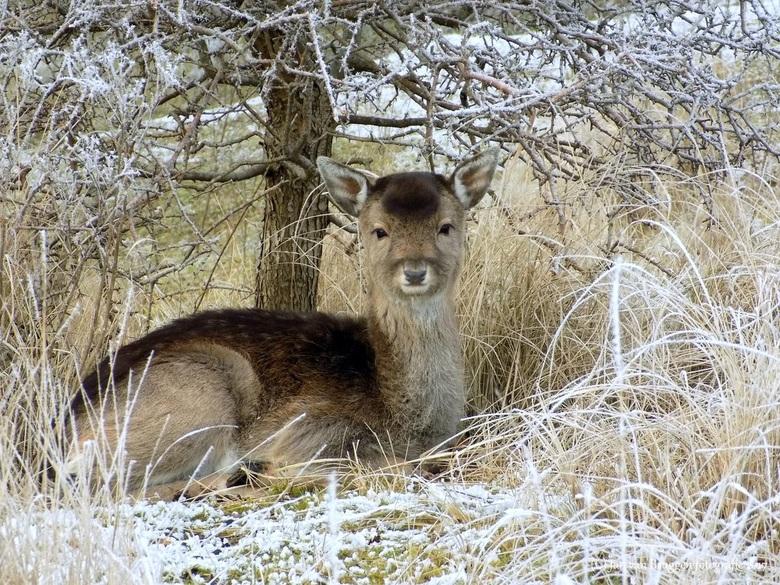 In winterse sfeer.. - Dit jonge damhert kalfje had een mooi beschut plekje gevonden in de amsterdamse waterleiding duinen om de koude winterse nacht d