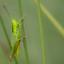 Sprinkhaan / grasshopper