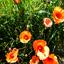 klap rozen (2)