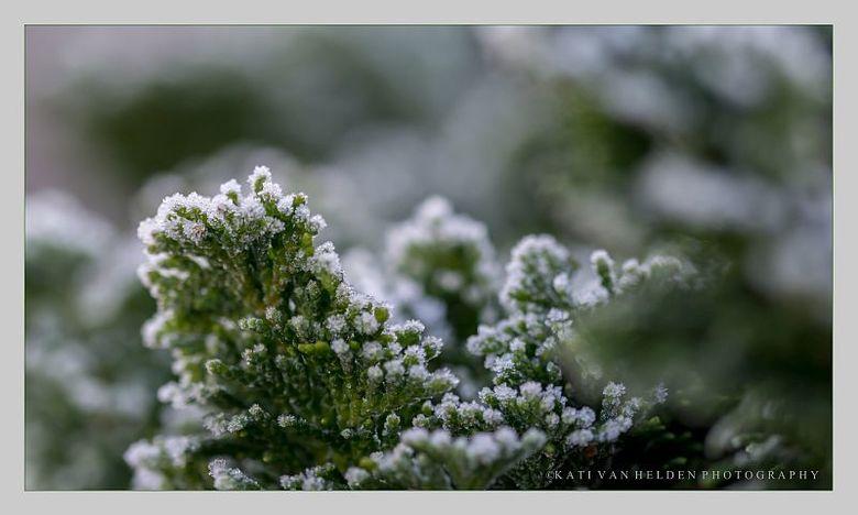 Dreamy Green - op een koude ochtend  gemaakt met veel rijp op de struiken.