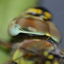 Ogen van een Libelle
