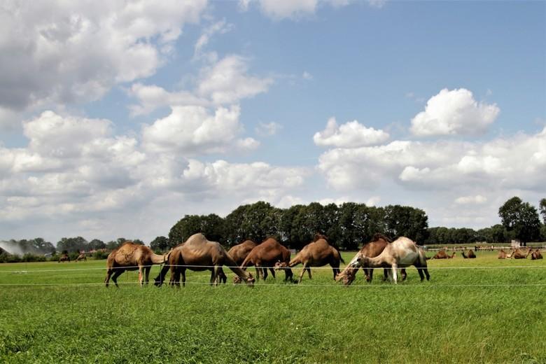 kamelen boerderij - hollandse luchten en berlicumse  kamelen in het landschap het is even wennen maar wel leuk !<br /> 8-8-2019
