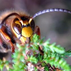 Hoornaar dame met bruine ogen