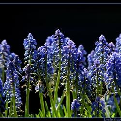 Blauwe druifjes ( muscari )