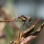 steenrode heidelibel (Sympetrum vulgatum)