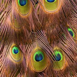 Koperkleurige Pauwenveren