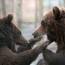 Bears fight