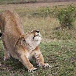 Wild Cat !!