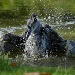 De badende reiger