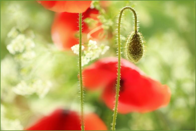 KLAPROZEN - Gisteren de eerste klaprozen al weer gespot. Tussen het fluitenkruid in de berm in de polder. Mijn lievelingsbloemen.
