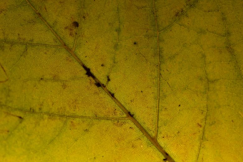 Herfstblad - Led verlichting achter blad geplaatst;<br /> genomen met een 100mm Macrolens