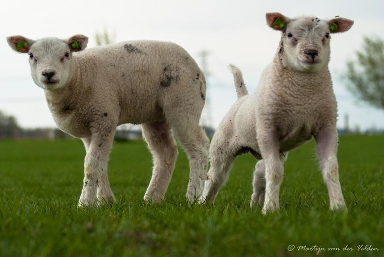 Lammetjes 2 - 2 jonge broertjes genieten van de lente in de Hoeksche Waard. De rechter had eigenlijk liever een pitbull geweest...