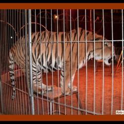 tijgers....grrrrrrrrr
