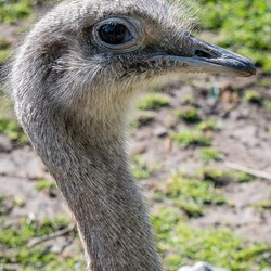 Struisvogel
