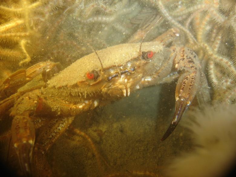 fluwele zwemcrab - diverse onderwaterfoto&#039;s<br />