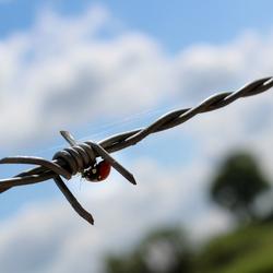 Lieveheersbeestje op prikkeldraad