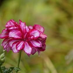 geranium na een regenbui