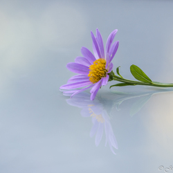 Aster reflectie