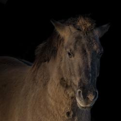 Konik paard.3