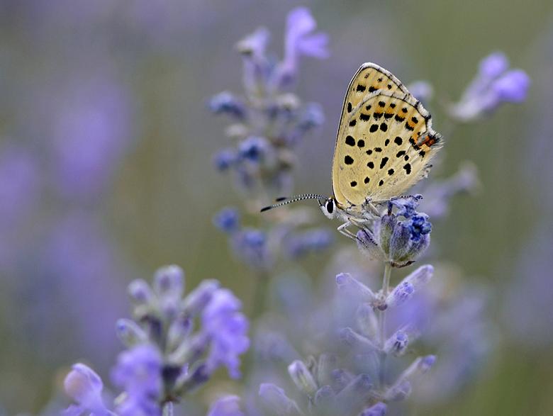 Bruine Vuurvlinder - Bruine Vuurvlinder rustend gespot op Lavendel in de Zuidelijke Alpen.