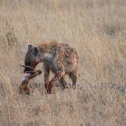 Hyena met Impala-prooi
