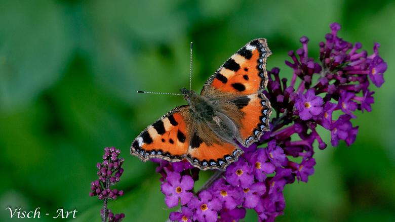 Kleine Vos (Aglais urticae);  - Om weer eens wat kleur toe te voegen aan het album een mooi vlinder foto op een paarse bloem.<br /> Vlinders zijn nie