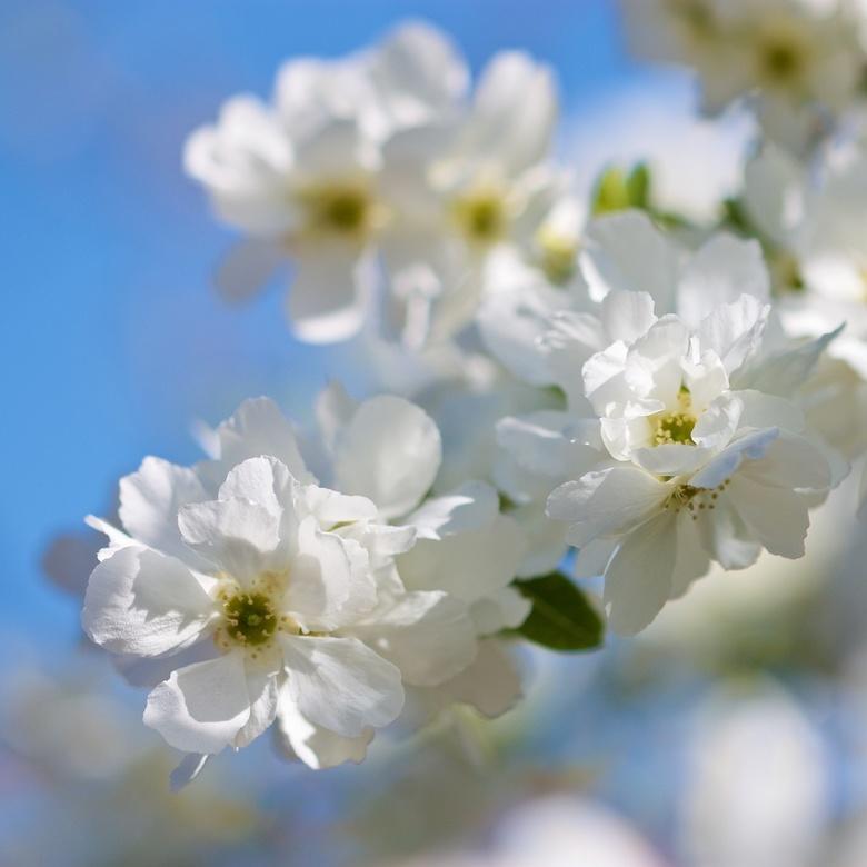 Boerenjasmijn 2 - Iets meer de bloei in het geheel.