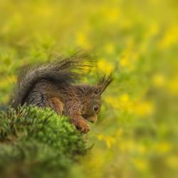 Eekhoorntje tussen de Forsythiabloemen