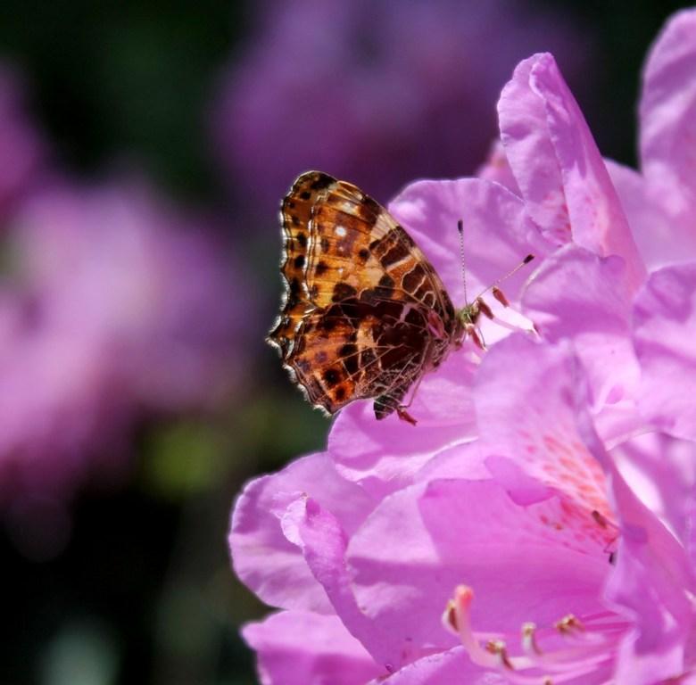 Vlinder in de Rhodo - Ik moest ergens anders foto's van maken, maar de rododendrons zaten helemaal vol met vlinders bijen en hommels. Wat een gel