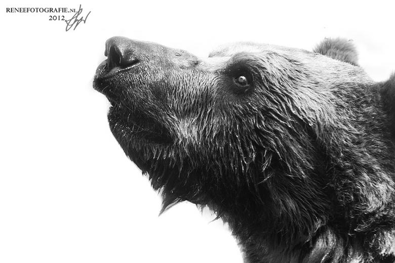 cute bear - schattige beer in wichita zoo
