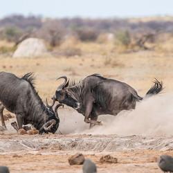 Wildebeest gevecht.