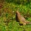 Fazant (Phasianus colchicus)