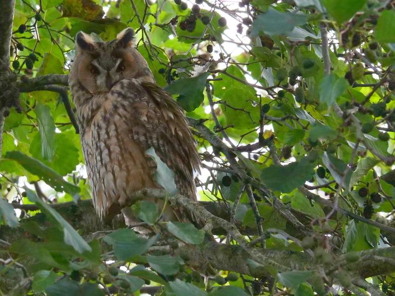 Ransuil - In een boom aan het drukste pad van Giethoorn ik stond de foto,s te maken geen mens keek op of om