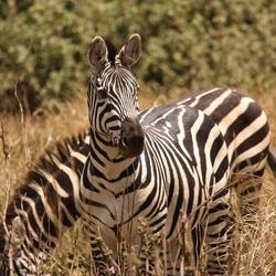 Zebra's in het wild