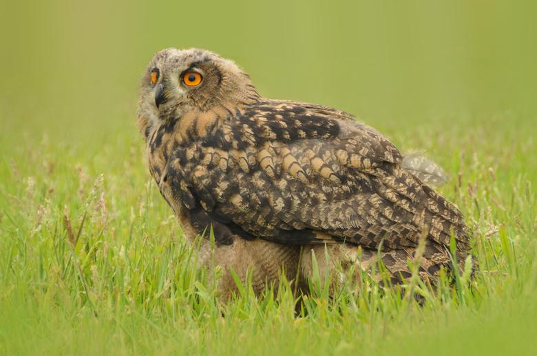 Lovely Owl -