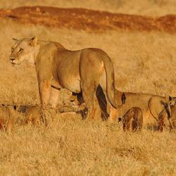 Leeuwenfamilie Kenia