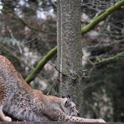 Yoga Lynx